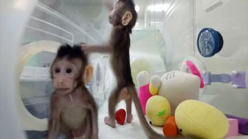 Cloned Macaques