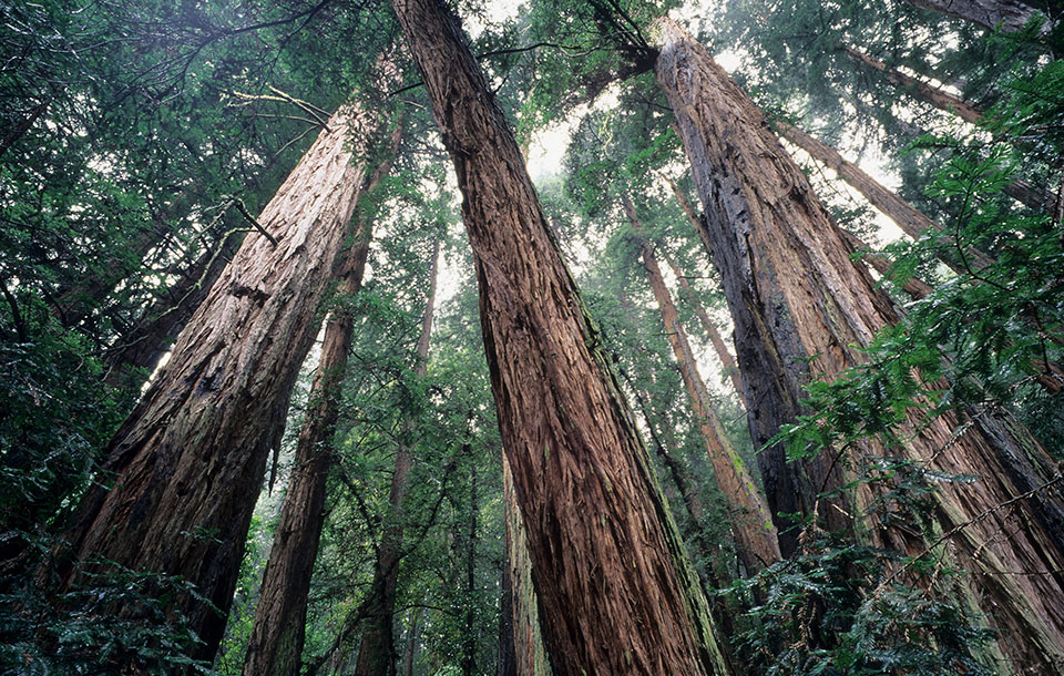 Giant redwoods in Muir Woods