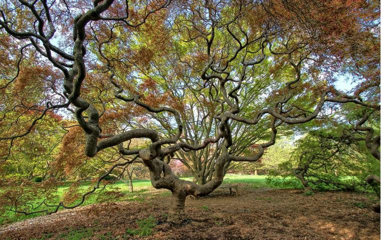 Photo of Japanese Maple from Cylburn Arboretum