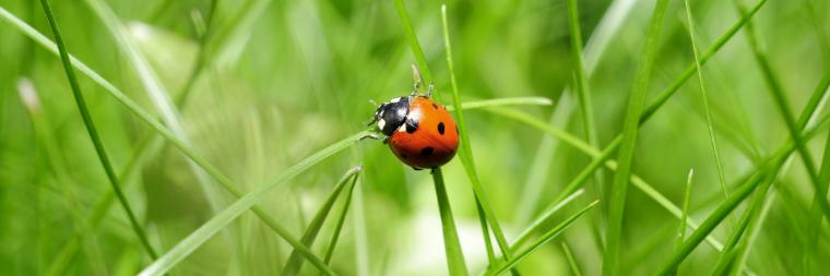 A ladybug on a strand of grass