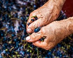 Hands holding grapes during wine production.